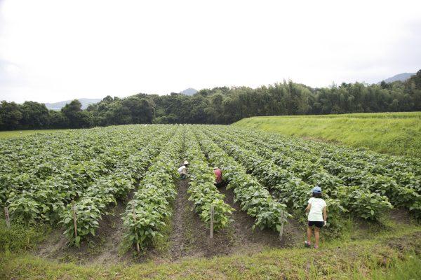 150829大橋さんファミリー0049貸し農園_黒大豆畑で作業
